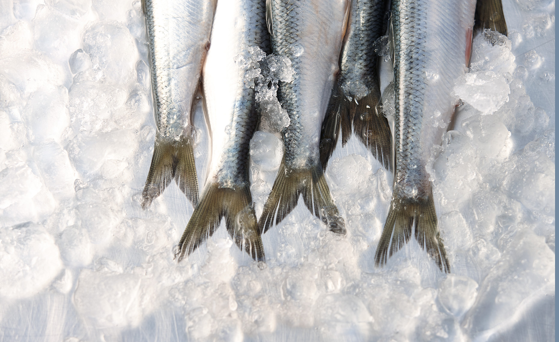 Food Photographer, Seafood Photography | Pohuski Studios,  Sardines Ice